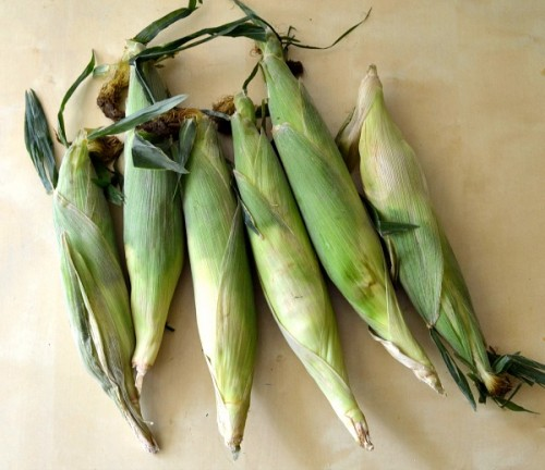 fresh-corn-500x432